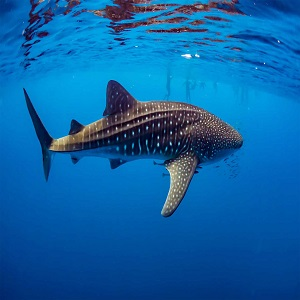 Ningaloo whale shark tours